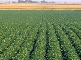campo de soja